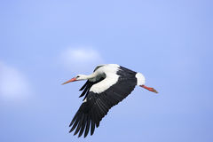 Flying stork Royalty Free Stock Photos