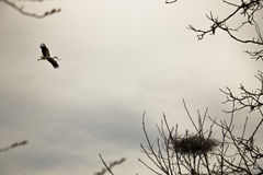 Stork flying to its nest Stock Image