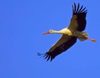Stork flying. White stork flying over blue sky Stock Photography