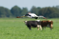 Stork foreground cows background Royalty Free Stock Photos