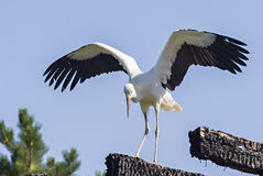 Stork. The Stork in front of a clear blue sky Royalty Free Stock Image