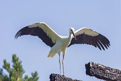 Stork. The Stork in front of a clear blue sky Stock Photo