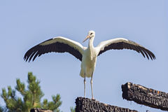 Stork. The Stork in front of a clear blue sky royalty free stock images