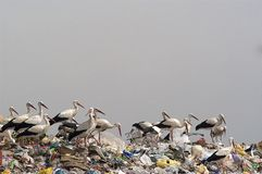 Stork in the garbage, Ciconia ciconia. Group of white stork in the garbage, Ciconia ciconia royalty free stock image