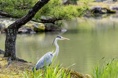 Stork in a garden. Kinkaku-ji garden with rocks,pond and bird stork watching Royalty Free Stock Photography
