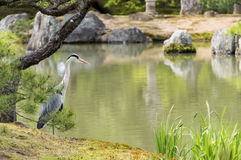 Stork in a garden. Kinkaku-ji garden with rocks,pond and bird stork watching Stock Photo