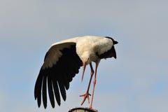 Stork gesture Stock Image