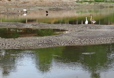 Stork and Goose standing resting walking looking hunting for fish Royalty Free Stock Images