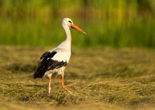 Stork in the grass. Stork standing in green grass Royalty Free Stock Photography