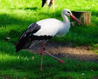 Stork on grass Royalty Free Stock Image
