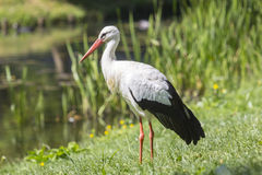 Stork in grass Royalty Free Stock Photography