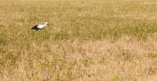 Stork on the grass. One stork walking in the field and looking for food. Photo close-up Royalty Free Stock Photography