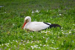 Stork in a grass Stock Image