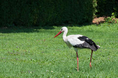 Stork on the grass Royalty Free Stock Images