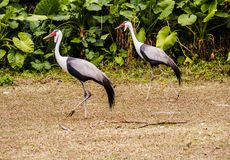 Stork in grassland Royalty Free Stock Photography