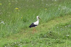 Stork on green grass Stock Images