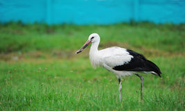 Stork in a green grass. Royalty Free Stock Photography