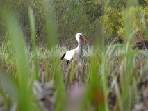Stork on green grass in sunny day on field Royalty Free Stock Photo