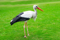 Stork on a  green lawn Stock Photo