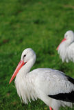 Stork group Royalty Free Stock Photos