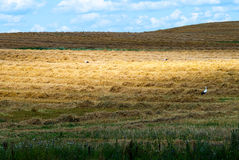 Stork. On the harvested field Royalty Free Stock Images