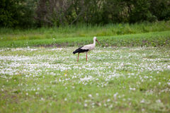 Stork in hayfield. Hayfield with daysies, beautiful nature of Latvia Royalty Free Stock Images
