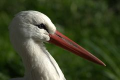 Stork head Royalty Free Stock Image