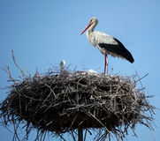 Stork in her nest. Stork standing in her nest and watching her chicks Royalty Free Stock Image
