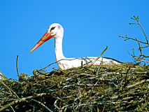 Stork in her nest Royalty Free Stock Photography