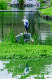 Stork Heron standing on a rock Stock Photo