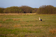 Stork in a high grass Stock Photo