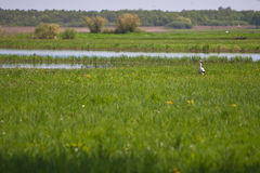 Stork in a high grass Stock Images
