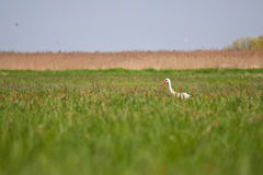 Stork in a high grass Stock Photos