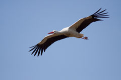 Stork high in the sky Stock Images