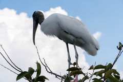 Stork high up on a tree. Egret perched on a tree at the Florida Everglades stock photos
