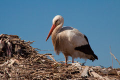 Stork in his nest. Stork keeping his nest in Marrakesh, Morocco Royalty Free Stock Images