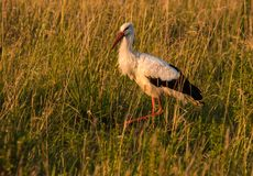 Stork hunting in grass at sunset. Stork hunting in high grass at sunset Stock Image