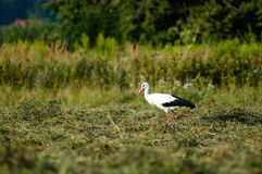 Stork hunting at the meadow. Single stork hunts for food at the meadow Stock Photo