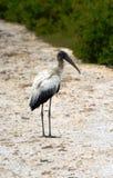 Stork i Belize Royaltyfria Foton