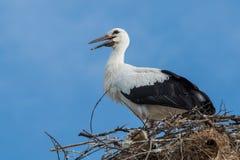 Stork i bygga bo Arkivbilder