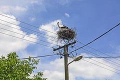 Stork i bygga bo Fotografering för Bildbyråer