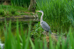 Stork i en sjö Arkivbilder