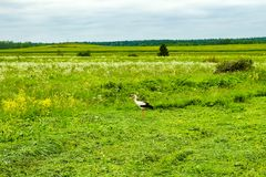 Stork i ett fält Royaltyfria Bilder