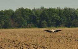 Stork i ett plogat fält Royaltyfria Bilder