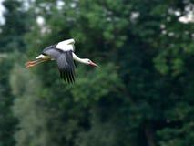 Stork i flyg fotografering för bildbyråer