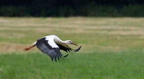 Stork i flyg arkivfoton
