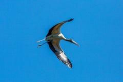 Stork i flykten Arkivbild