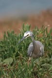 Stork i gräs- lapp Arkivbilder