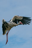 Stork i himlen Arkivbild