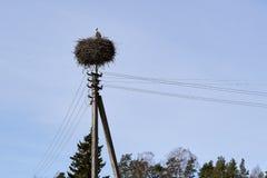 Stork i redet på en kraftledning Arkivbild